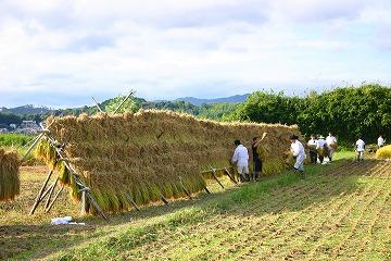 米収穫 静岡県神道青年会では、主な活動として「米作り」を行っています。これは、... 静岡県神道
